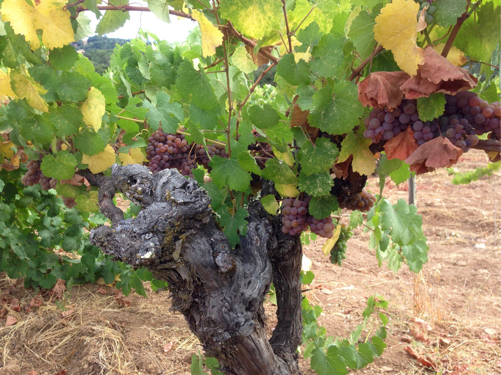 An old head-trained vine at Compagni Portis