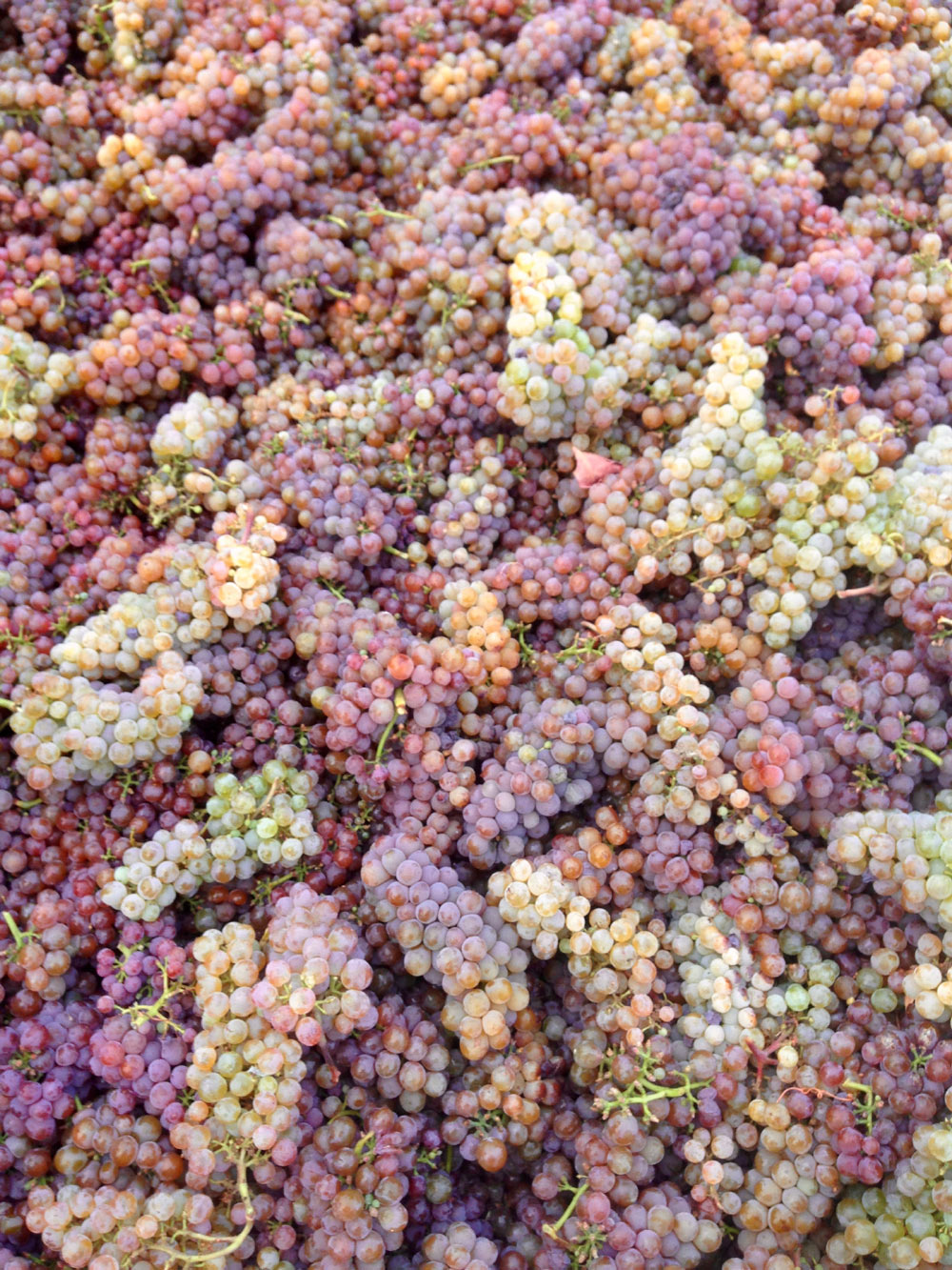 The colorful grapes from Compagni Portis