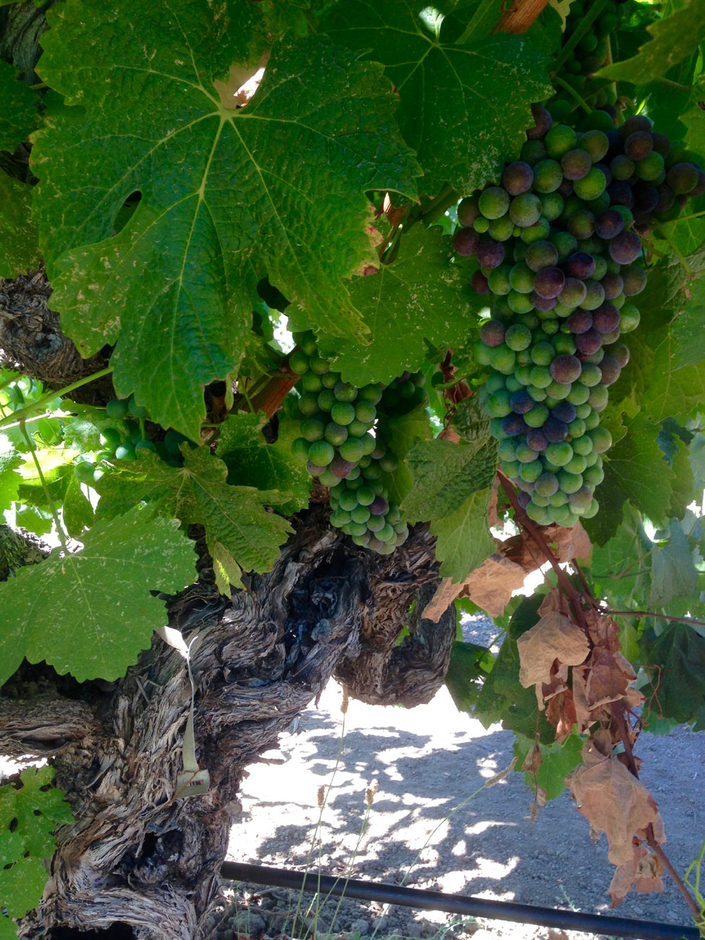 Grapes going through veraison on a head-trained vine at Gibson Ranch