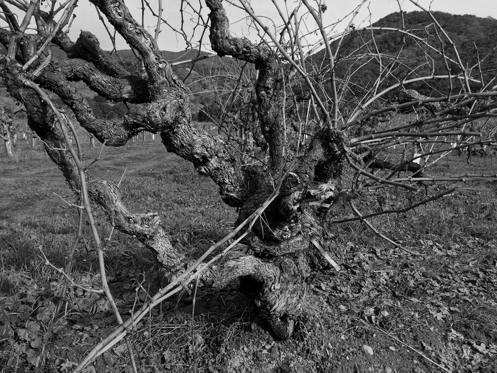 An old head-trained vine just before pruning at Gibson Ranch