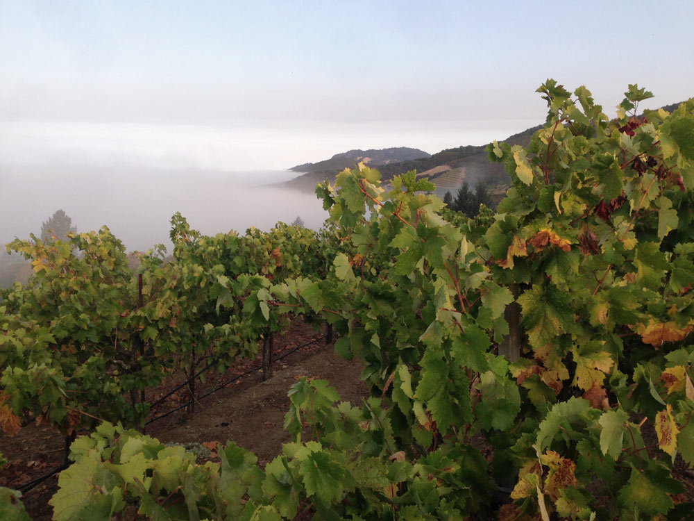 The vine rows of Monte Rosso Vineyard partially covered in fog