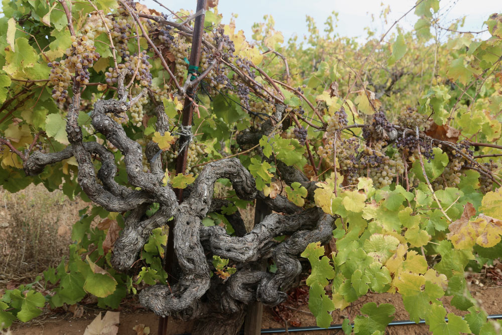 A gnarly Semillion vine at Monte Rosso Vineyard planted in the 1880s