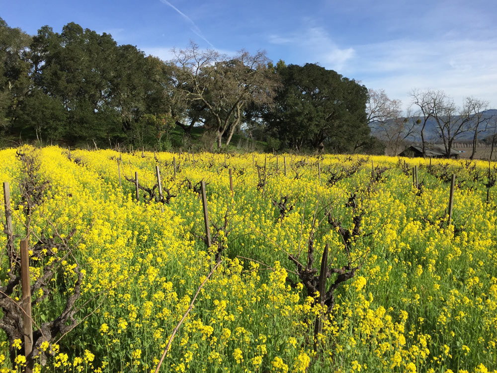 Mustard cover crop between the rows of Oakville Farmhouse Vineyard