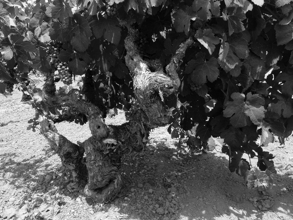 An old vine at Sodini Ranch