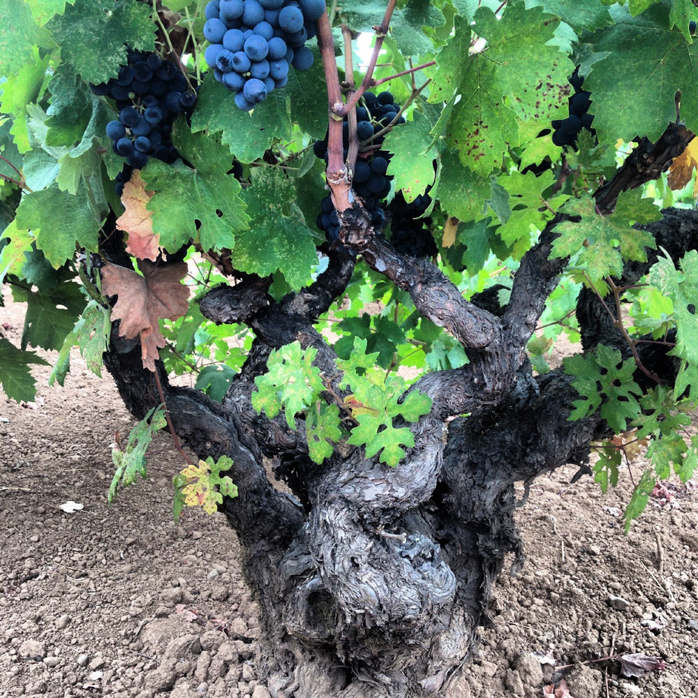 Head-trained vine at Teldeschi Ranch